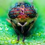 Tabanus-abdominalis-horsefly