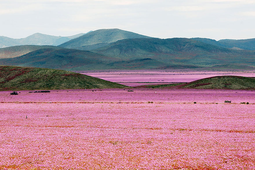 pictures of desert flowers in bloom