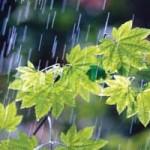 Rain Falling on Vine Maple Leaves ca. 2000 Oregon, USA