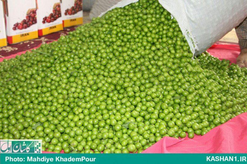 برداشت گوجه سبز نوبرانه از باغات راوند کاشان/ تصاویر