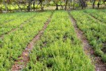 مزرعه-تولید-کشت-کاشت-گیاه-دارویی-رزماری-ارگانیک-480x250