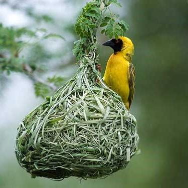 southern-masked-weaver-bird
