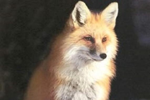 شاه روباه