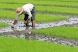 ممنوعیت+کشت+برنج+در+خوزستان
