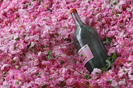 Rosa damascena06