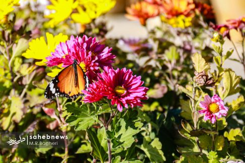 نمایشگاه گل های داوودی اصفهان (5)