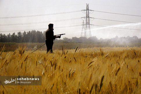 اجرای طرح مبارزه با سن غلات در مزارع برخوار (11)