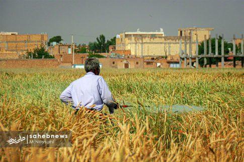 اجرای طرح مبارزه با سن غلات در مزارع برخوار (12)
