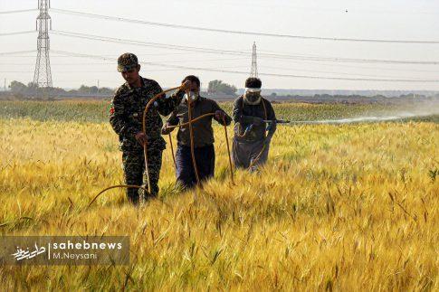 اجرای طرح مبارزه با سن غلات در مزارع برخوار (4)