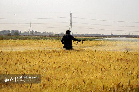 اجرای طرح مبارزه با سن غلات در مزارع برخوار (7)