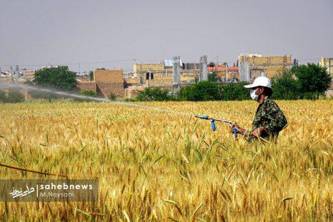 اجرای طرح مبارزه با سن غلات در مزارع برخوار (9)