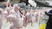افزایش قیمت مرغ