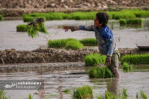 برنجکاری مبارکه (15)