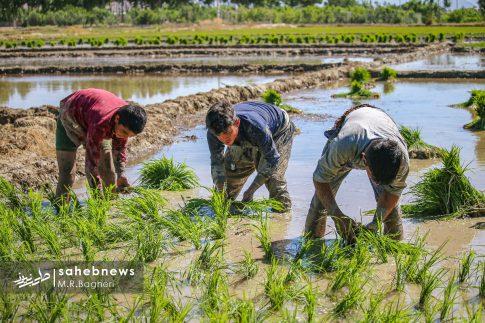 برنجکاری مبارکه (24)
