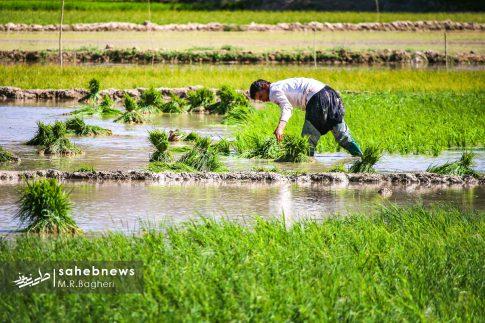برنجکاری مبارکه (26)