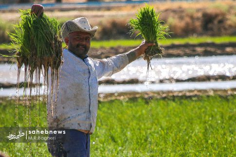 برنجکاری مبارکه (27)