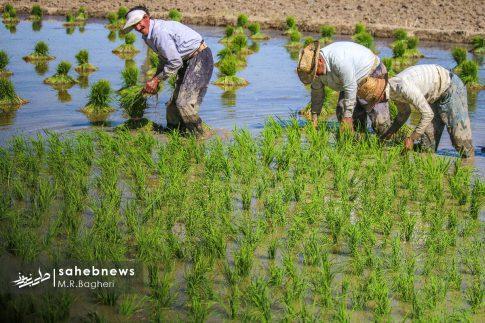 برنجکاری مبارکه (28)