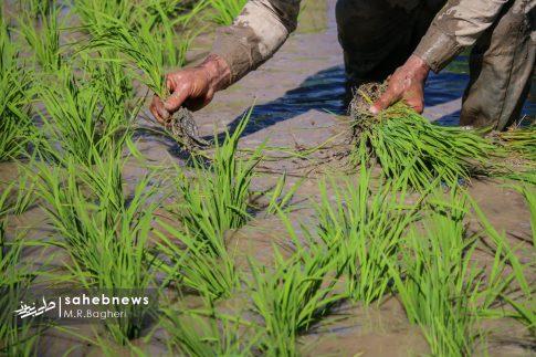 برنجکاری مبارکه (29)