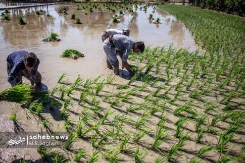برنجکاری مبارکه (3)