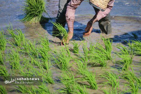برنجکاری مبارکه (30)