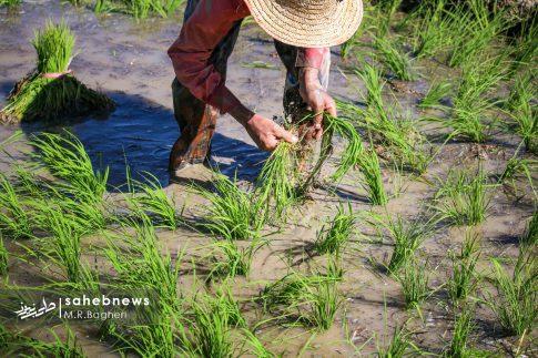 برنجکاری مبارکه (32)