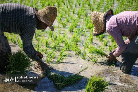 برنجکاری مبارکه (33)