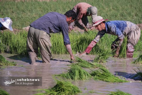 برنجکاری مبارکه (37)