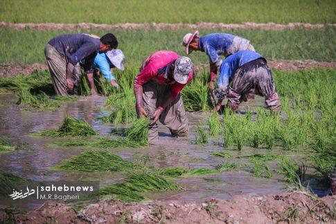 برنجکاری مبارکه (38)