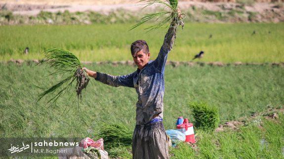 برنجکاری مبارکه (39)