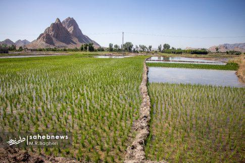 برنجکاری مبارکه (4)