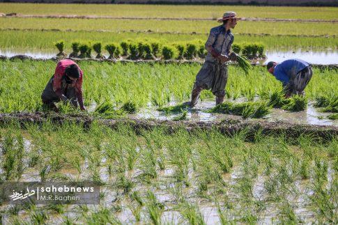 برنجکاری مبارکه (41)