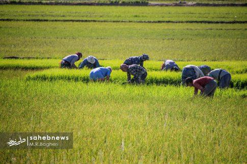 برنجکاری مبارکه (42)