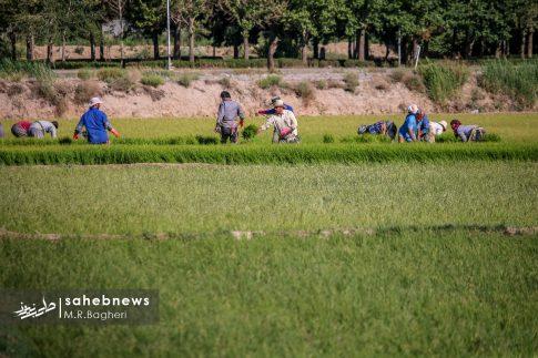 برنجکاری مبارکه (44)