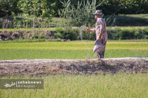 برنجکاری مبارکه (45)