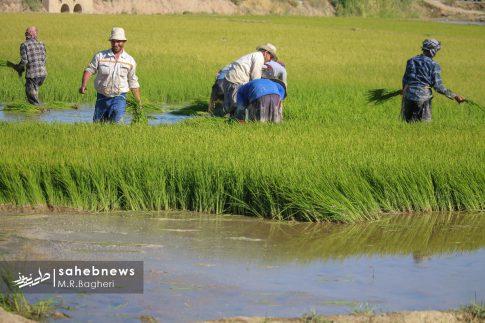 برنجکاری مبارکه (46)