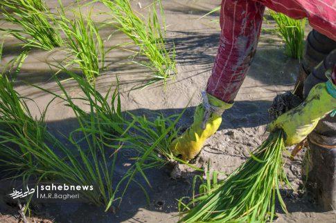 برنجکاری مبارکه (47)