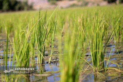 برنجکاری مبارکه (48)