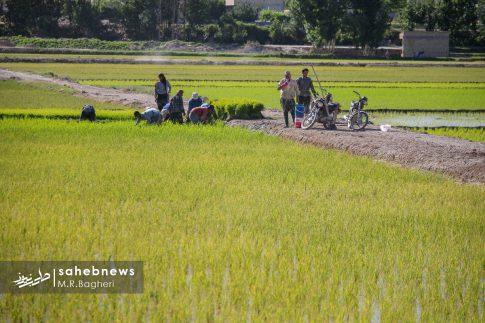 برنجکاری مبارکه (49)