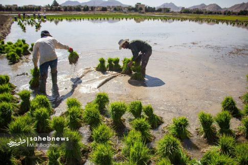 برنجکاری مبارکه (5)