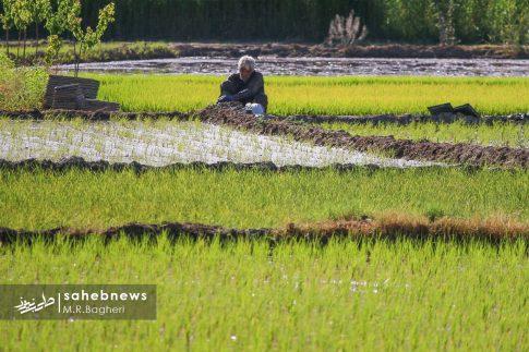برنجکاری مبارکه (50)