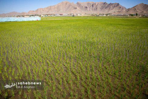 برنجکاری مبارکه (6)