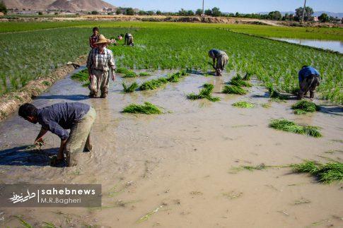 برنجکاری مبارکه (7)