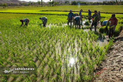 برنجکاری مبارکه (8)