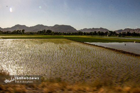 برنجکاری مبارکه (9)