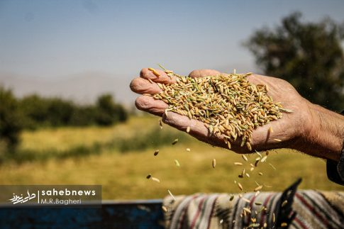 برداشت برنج (18)