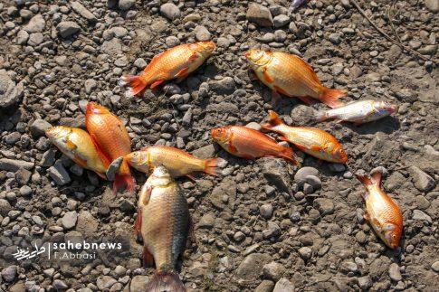 مرگ ماهی های زاینده رود (10)