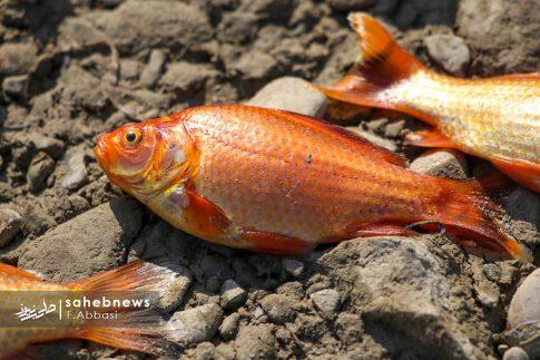 مرگ ماهی های زاینده رود (11)