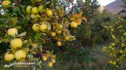 برداشت سیب (11)