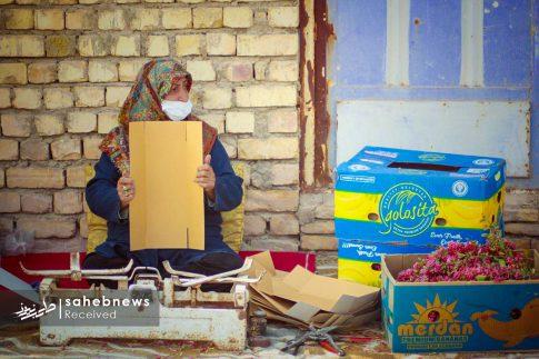 برداشت زرشک از 10 هکتار اراضی شهرستان برخوار (12)