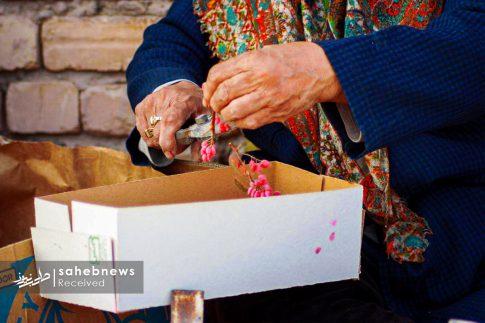 برداشت زرشک از 10 هکتار اراضی شهرستان برخوار (15)